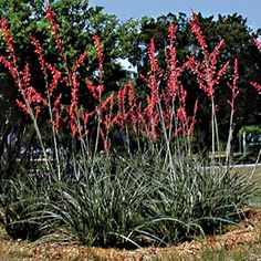 Ah the Red Yucca, one of my favorite Central Texas Landscaping Plants. Description: Hesperaloe parviflora is native to Central and West Texas. Texas Landscaping, Landscaping Plants, Front Yard Landscaping, Landscaping Ideas, Natural Landscaping, Texas Gardening, Vegetable Gardening, Container Gardening, House Landscape