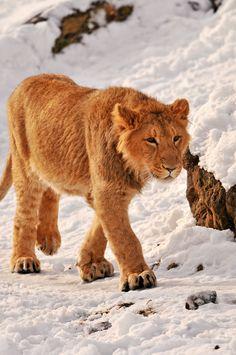 Jasraj walking in the snow
