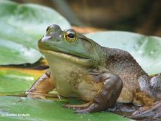 bull frog - Google Search