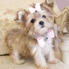 Tiny teacup #morkie #dogs #cute