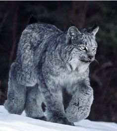 A wintertime Canadian (Boreal) Lynx. look at the built-in snowshoes! – Anna Glin A wintertime Canadian (Boreal) Lynx. look at the built-in snowshoes! A wintertime Canadian (Boreal) Lynx. look at the built-in snowshoes! Rare Animals, Animals And Pets, Funny Animals, Wild Animals, Animals In Snow, Big Cats, Cats And Kittens, Cute Cats, Ragdoll Kittens