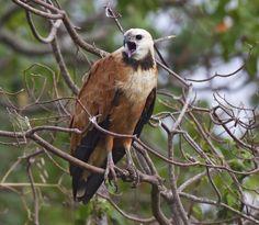 Busarellus nigricollis - Black-collared Hawk