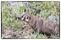 A badger surveys a field of holes in Yellowstone National Park.