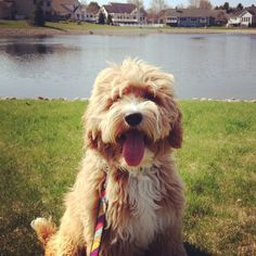 Adorable Goldendoodle puppy from Michigan out for a walk. #goldendoodle