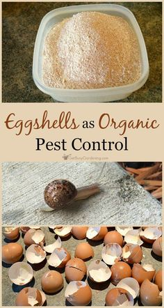 Crushed eggshells get under the hard shells of beetles, and . - diy-und-selbermachenCrushed eggshells get under the hard shells of beetles, and acts like bits of glass to cut them up and kill them. You can't beat free organic pest control! Slugs In Garden, Garden Pests, Garden Insects, Garden Fertilizers, Plant Pests, Organic Vegetables, Growing Vegetables, Organic Fruit, Organic Plants