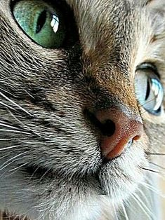 These cute kittens will warm your heart. Cats are fascinating companions. Pretty Cats, Beautiful Cats, Animals Beautiful, Cute Animals, Pretty Kitty, Cute Cats And Kittens, Kittens Cutest, Cool Cats, Cat Nose