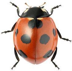 Coccinella_ eptempunctata, - Anita Smith Home Beetle Insect, Insect Art, Insect Crafts, Insect Wings, Bug Insect, Cool Insects, Bugs And Insects, Vintage Clipart, Ladybug And Cat Noir