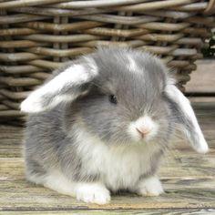 // Lop eared cuteness!
