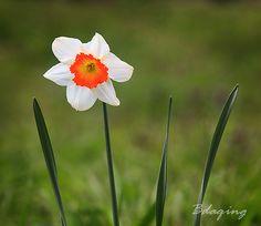水仙花 | Flickr - Photo Sharing!