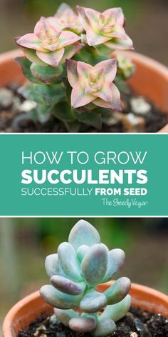 How to grow succulents from seed. #succulent #cactus #seeds