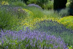 mounds of Lavender and Santolini at the garden at Pépinière Filippi, Provence, France. Designed by Michel Semini -