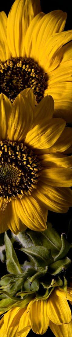 Sunflower Garden, Sunflower Fields, May Flowers, April Showers, Floral Fashion, Sunflowers, Dandelion, Heavenly, Bouquets