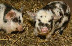 kune kune pigs- so cute!