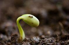 Da Busch- und Stangenbohnen kälteempfindlich sind, empfiehlt sich vor allem in rauen Lagen eine Vorkultur in Töpfen oder Minigewächshäusern. Die jungen Pflänzchen können dann Anfang Mai ins Gemüsebeet gepflanzt werden. Vorteil der frühen Anzucht: Wer früh sät, kann bald ernten. Außerdem sind die Jungpflanzen vor Schnecken und Bohnenfliegen sicher. Bohnen eigenen sich übrigens prima für die Mischkultur mit Zuckermais.