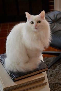 Cloud the Turkish Angora Cat More