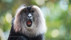 Lion-tailed macaque by scipbe #animals #animal #pet #pets #animales #animallovers #photooftheday #amazing #picoftheday