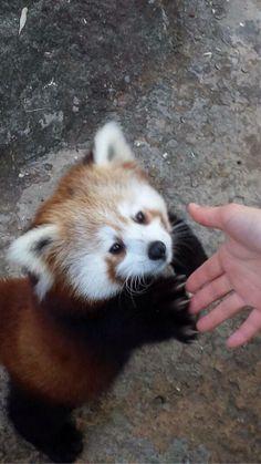 #cute #red #panda