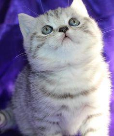 British Silver Kitten