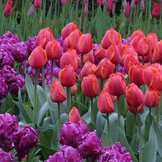 Tulip Ad Rem - A stately tulip with large, scarlet red petals that are edged in golden yellow. Landscapers love Ad Rem because it always puts on a great show of color. One of the best Darwin Hybrids for repeat blooms, it also has a wonderful fragrance.
