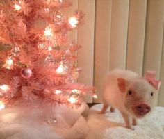 Darcy put up his Piggy Christmas tree. He is so festive. Cute Baby Pigs, Cute Piglets, Baby Piglets, This Little Piggy, Little Pigs, Christmas Animals, Pink Christmas, Christmas Tree, Xmas