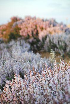 lavender vibes