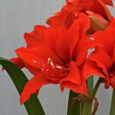 Die Amaryllis 'Celica' leuchtet in hellem Rot. Die Zwiebeln kommen ab November in die Pflanzgefäße und blühen dann als Zimmerpflanze mitten im Winter - online erhältlich bei www.fluwel.de