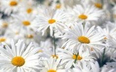 Preview wallpaper daisies, flowers, field, plant