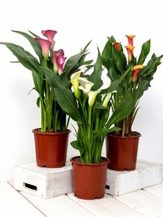 Calla Lily Flowers, Calla Lilies, Flower Bouquets, Indoor Flowering Plants, Garden Plants, House Plants, Zantedeschia Aethiopica, Easy Plants To Grow, Fertilizer For Plants