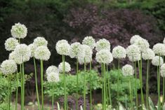 White Alliums Above: Protect spring tulips from hungry deer with a deer-resistant perimeter of alliums (ornamental onions). Deer hate the oniony smell of the bulbs and leaves. There are more than 150 different varieties of alliums; many have flowers that are shades of blue or purple and heights vary. For a white, dandelion puff of an allium, consider Graceful Allium (10 bulbs for $9.74 and ships for fall planting) from Breck's. Other deer-resistant plants that Stewart recommends include…