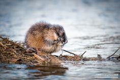 ► Bisamratte #Bisamratte #Murg #Gaggenau #Tierfotografie #Fotografie  #Animalphotography #Photography © 2017 Jörg Schumacher · Fotografie & Layout Gaggenau | www.einfachMedien.de || Gerne teilen aber nicht kopieren » Info: http://goo.gl/heeoGM