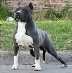 American Pitbull Terrier, gotta love this breed of dog.....love pit bulls…