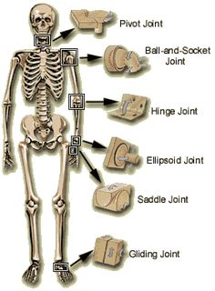 Human Joint Types, just need to change it to livestock, which shouldn't be hard! Human Body Anatomy, Human Anatomy And Physiology, Medical Students, Nursing Students, Human Joints, Body Joints, Nursing School Notes, Medical Anatomy, Medical Coding