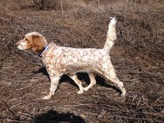 Lion Country English Setter on the prowl. It's time for some hunting!