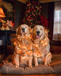 Stunning hand crafted golden retriever accessories and jewelery available at Paws Passion Shop! Represent your golden retriever pup with our merchandise! Funny Animal Photos, Dog Pictures, Funny Animals, Cute Animals, Funny Photos, Cute Puppies, Cute Dogs, Dogs And Puppies, Puppies Tips