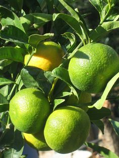 . Lemon Drops, Limes, Lemon Lime, Crete, Beautiful Places, Fruit, The Fruit, Key Lime, Lime