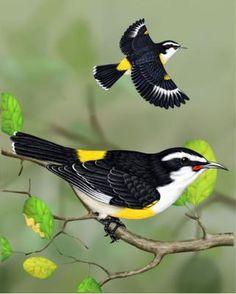 Bananaquit - Whatbird.com