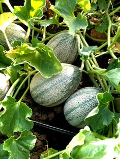 Galia melons