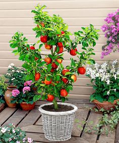 The Dwarf Apple (Malus Domestica 'Red Spur Delicious') is famed for its sweet flavour. Although the tree stays small, it produces a medium size fruit with many characteristics of the 'Delicious' family. These dwarf apple trees can also be planted in a spacious planter on the patio or decking for an unusual feature.