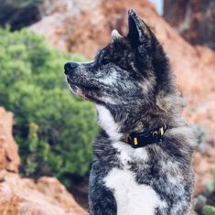 Perfectly Akita  #puppy #naokoakitainu #dog #paws #chien #pawsfriend #akitainu #akita #akitainudogs #akitainudog #akitainucute #japaneseakitainu #akitadogs #akitasofinstagram #akitapuppy #akitaworld #akitalovers #akitalife #akitapics  #akita_inu #animal #animals #dogs #cute #doglover #akitacutepuppy #dog_features Akita Puppies, Cute Puppies, Japanese Akita, Naoko, Dog Paws, Inu, Dog Lovers, Husky, Take That