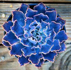 Love this beautiful plant. 'Echeveria neon breaker'