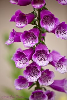 Foxglove (Digitalis purpurea) ~ these are easy to grow and so showy, but are toxic if ingested; this is where the cardiac drug digitalis comes from. Lovely aren't they?