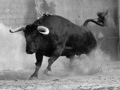 Big Animals, Farm Animals, Animals And Pets, Bucking Bulls, Taurus Bull, Bull Images, Bull Pictures, Bull Painting, Bull Tattoos