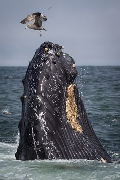 ᙢєįℓℓєųяᎦ ᏗɱįᎦ (Western Gull Hovers over Humpback Whale by toryjk) List Of Animals, Rare Animals, Strange Animals, Orcas, Especie Animal, Save The Whales, Animal Species, Endangered Species, Wale