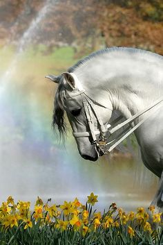 Grey horse with daffodils and rainbow