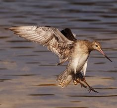 The Bar-tailed Godwit (Limosa lapponica) is a large wader in the family Scolopacidae, which breeds on Arctic coasts and tundra mainly in the Old World, and winters on coasts in temperate and tropical regions of the Old World.[2] Its migration is the longest known non-stop flight of any bird and also the longest journey without pausing to feed by any anima
