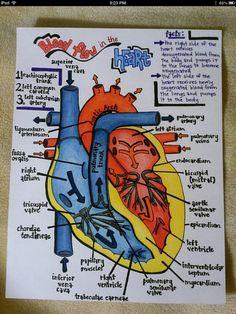 Cardiovascular System  #nursing #study #mnemonics #cardiac #art