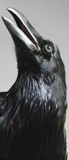 The raven is a big black bird, a member of the crow family. It is all black with a large bill, and long wings. The Crow, Beautiful Birds, Animals Beautiful, Beautiful Pictures, Spirit Animal Totem, Quoth The Raven, Raven Bird, Crow Bird, Jackdaw