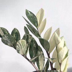 Variegated (& poisonous) ZZ plant care tips at - Modern Design Rare Plants, Exotic Plants, Tropical Plants, Unusual Plants, Tropical Garden, House Plants Decor, Plant Decor, Plante Zz, Zz Plant Care