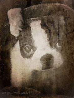 It's A Kind of Boston Magic photoArt by mimulux patricia no many thanks go to the modell - my little Boston Terrier Pup, Isobelle Magic S, Poster Prints, Art Prints, Print Artist, Cool Artwork, Dark Art, Fine Art America, Art Decor, Your Dog
