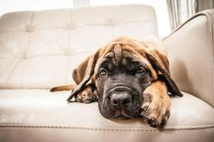 Mastiff catching some rest on the couch. Dog Love, Puppy Love, English Mastiff, Types Of Dogs, Big Dogs, Doge, Mans Best Friend, Animal Photography, Fur Babies